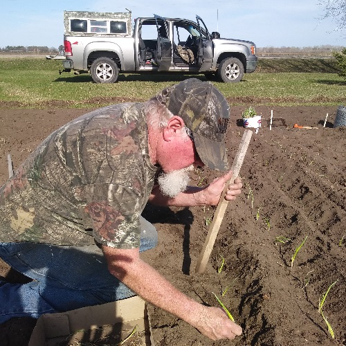 Phil planting onions in the field. We plant about 1000 onions per year.